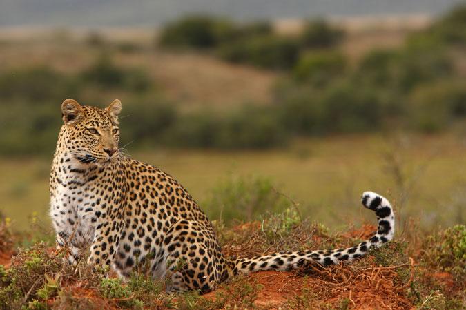 leopard, safari, Eastern Cape, South Africa