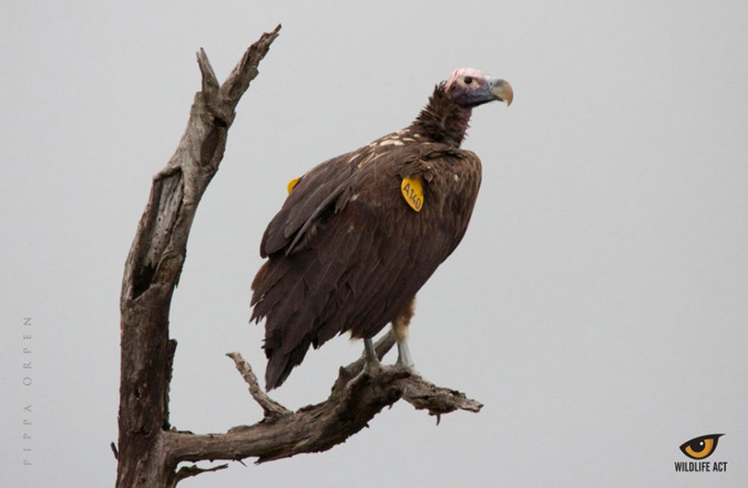 vulture, conservation, Wildlife ACT