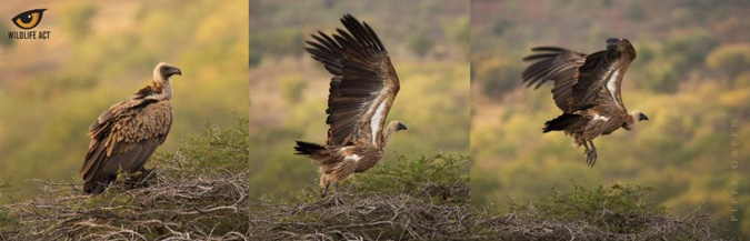 white-backed vulture, conservation, Wildlife ACT