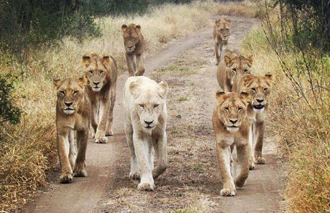 Kruger Guest Captures Striking Shot Of Singita S White