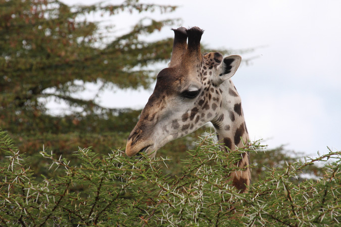 giraffe, acacia leaves