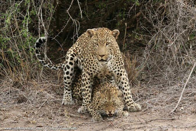 leopard-mating