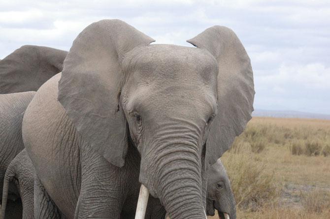 elephant-ears