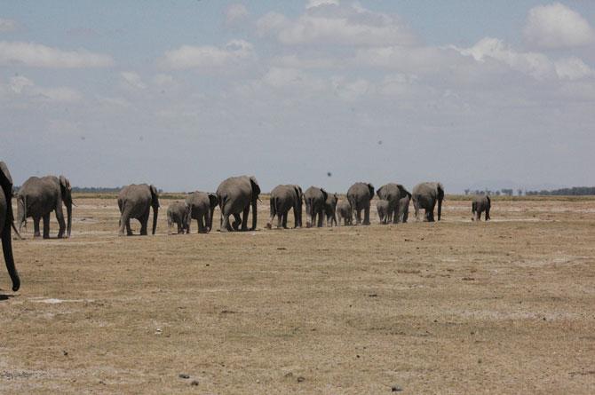 elephant-herd