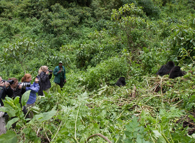 gorilla, trekking, dense jungle, Uganda, Rwanda, DR Congo
