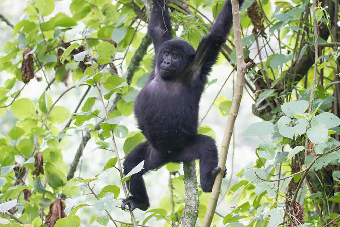 gorilla, trekking, Uganda, Rwanda, DR Congo