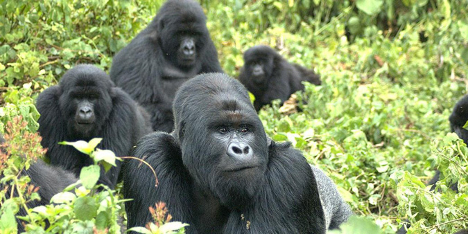 mountain gorillas, Africa