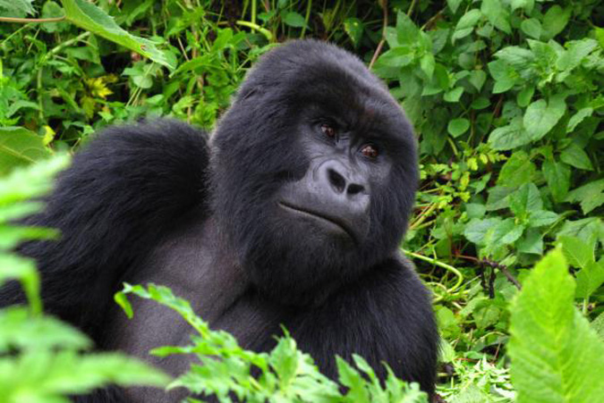 Mountain gorilla, Africa