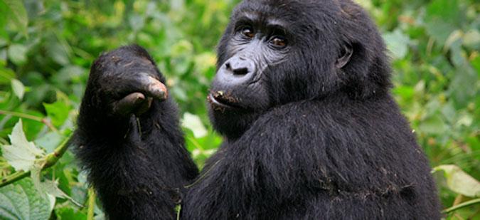 Uganda, mountain gorilla