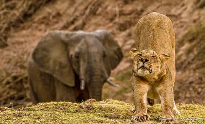 lion, yoga pose, Africa