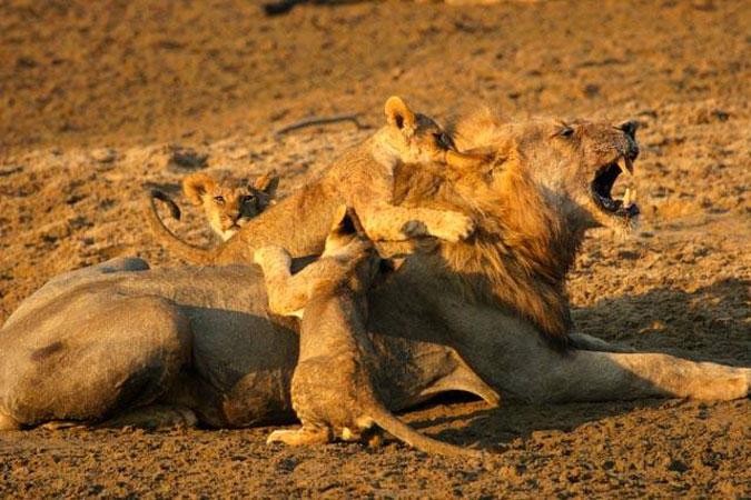 male-lion-cubs