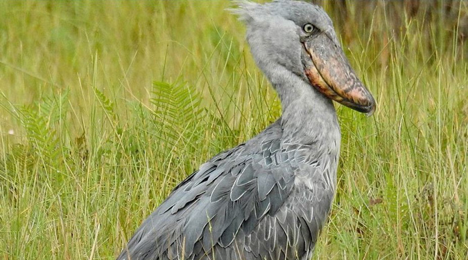 shoebill stork, Uganda