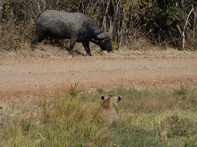 buffalo, lion, South Luangwa National Park, Zambia