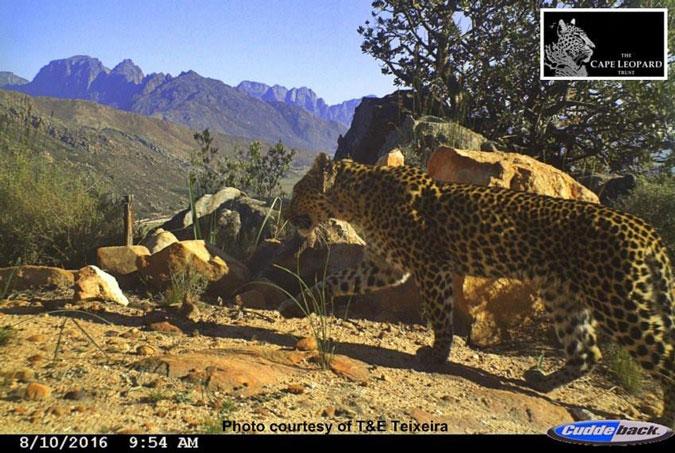 Leopard, camera trap, Cederberg, Cape, South Africa
