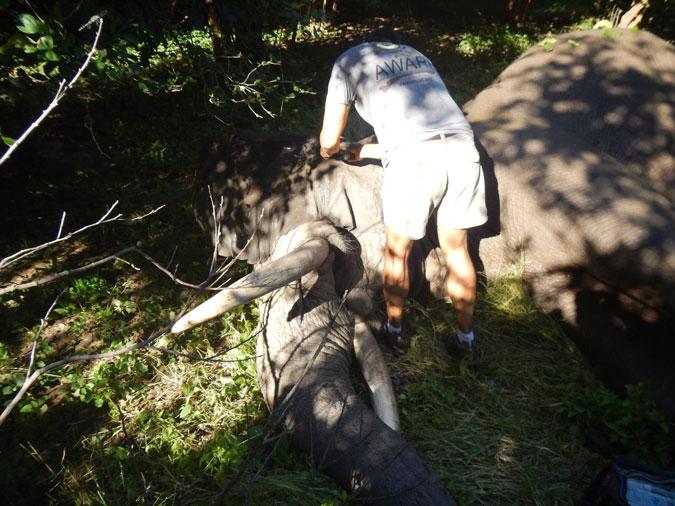 Tusker, the bull elephant, immobilised for treatment, Mana Pools, Zimbabwe