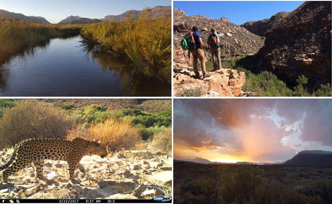 Leopard, Cederberg, Cape, South Africa