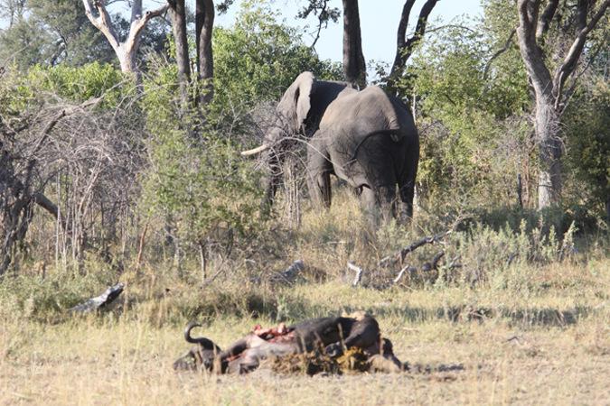 elephant, buffalo carcass, Namibia