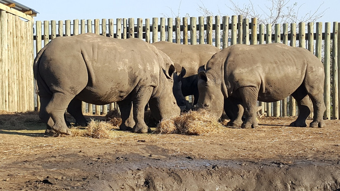 three rhino grazing in a boma