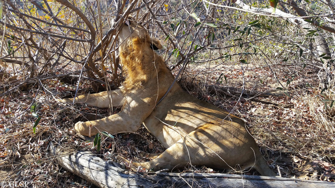 poached lion, Limpopo National Park, Mozambique