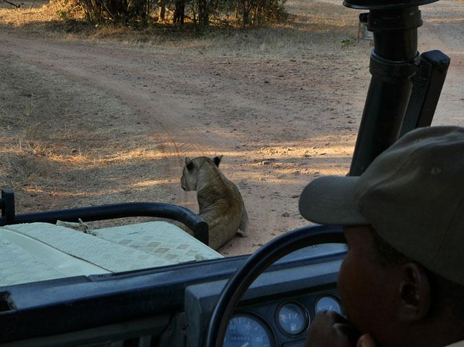 game drive vehicle, lion, South Luangwa National Park, Zambia