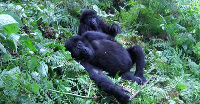 two mountain gorillas, Uganda