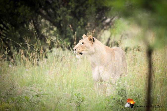 lioness, bush