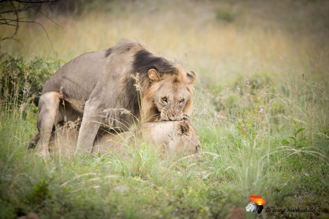 lion and lioness mating, bush