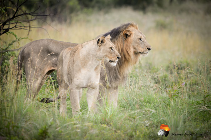 lion and lioness, bush