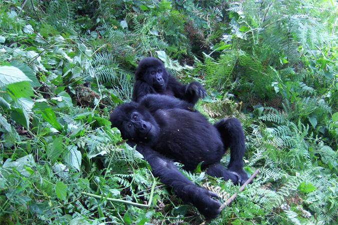 two mountain gorillas, Uganda