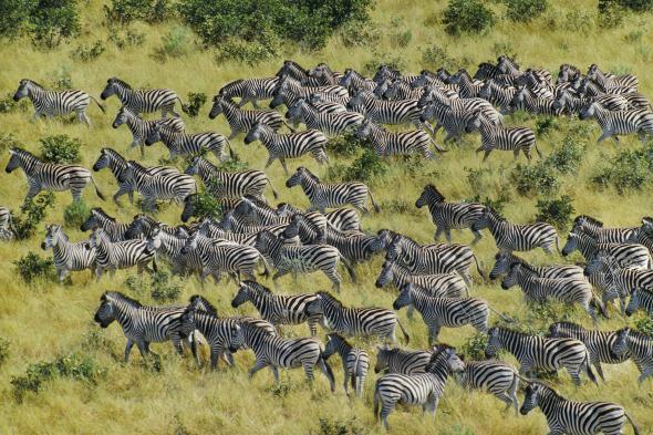 zebra, migration