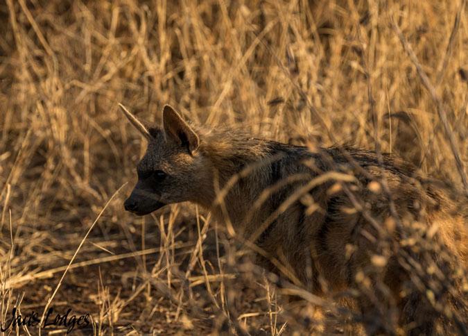 aardwolf, Madikwe, South Africa