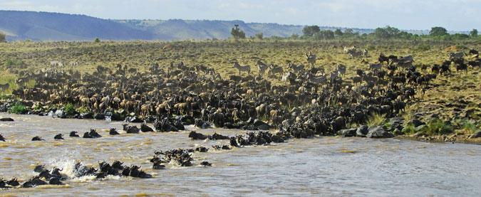 wildebeest, river crossing, wildlife, Africa