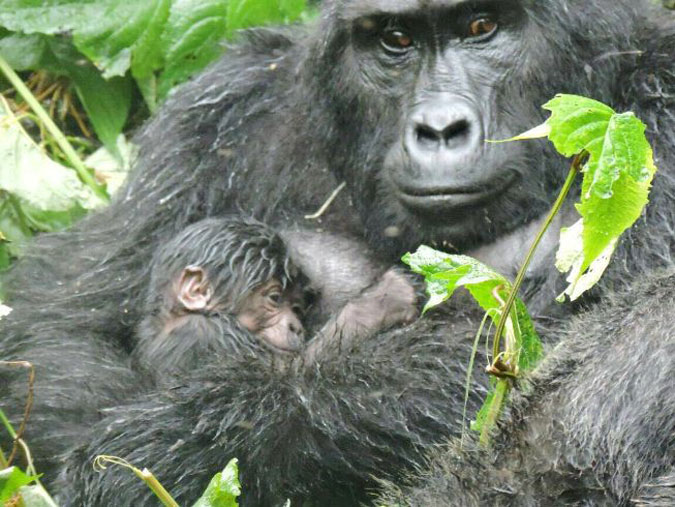 baby mountain gorilla and mother, Uganda