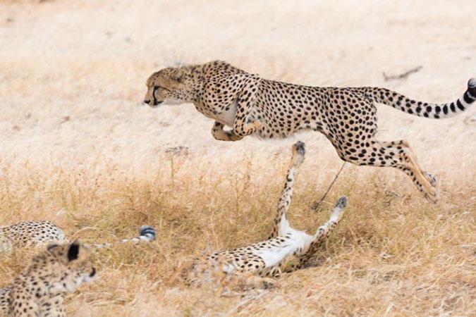 cheetah siblings playing, Mashatu Game Reserve, Botswana