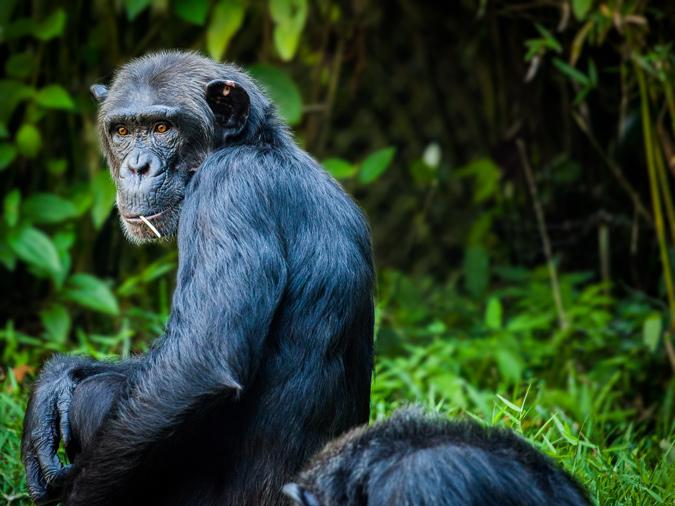chimpanzee tracking, Tanzania