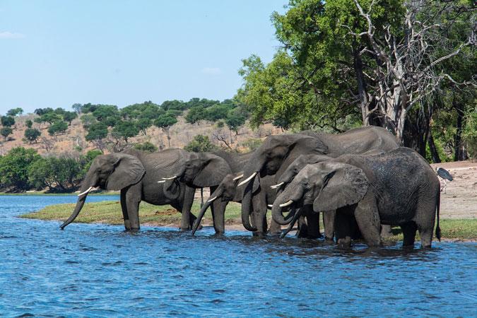elephants in a river, Botswana