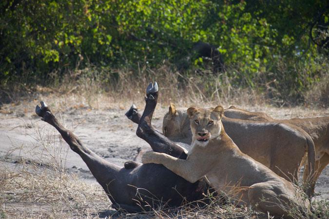 lioness taking down buffalo, Chobe National Park, Botswana