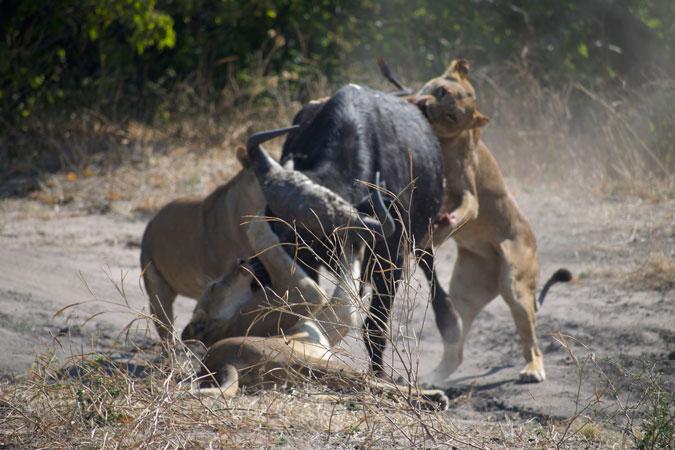 three lionesses taking down buffalo, Chobe National Park, Botswana