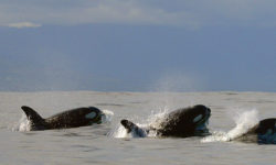 three killer whales, ocean, False Bay, South Africa
