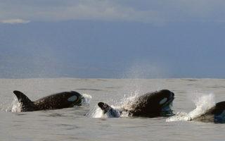 three killer whales, ocean, False Bay, South Africa