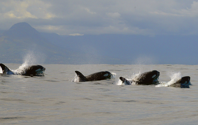 four killer whales, ocean, False Bay, South Africa