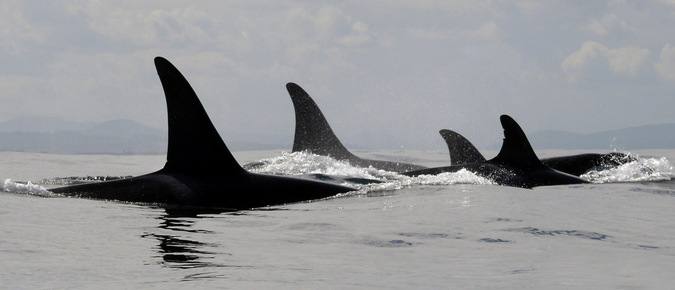 killer whales, ocean, False Bay, South Africa