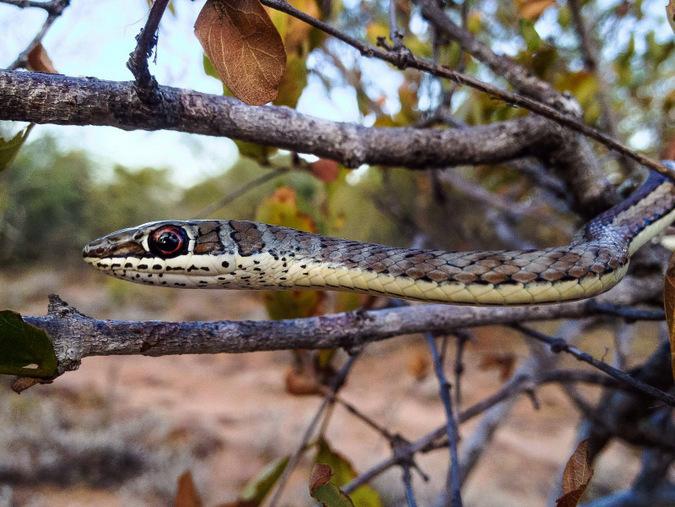 Western striped-bellied sand snake