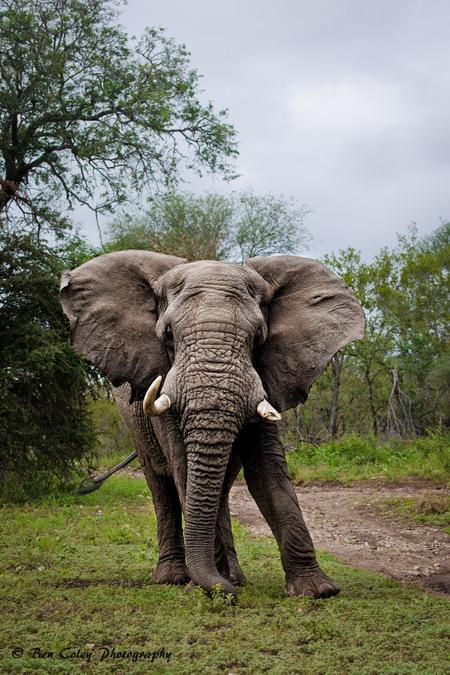 elephant, wildlife, bush safari