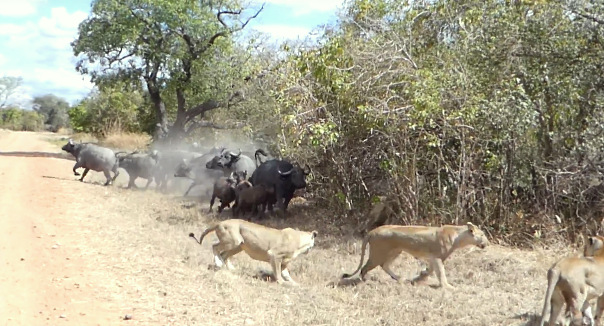 lions hunting buffalo calf