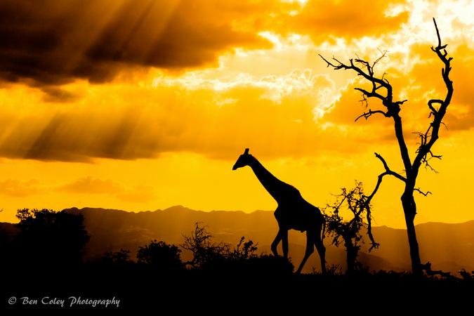 giraffe, sunset, wildlife, bush safari