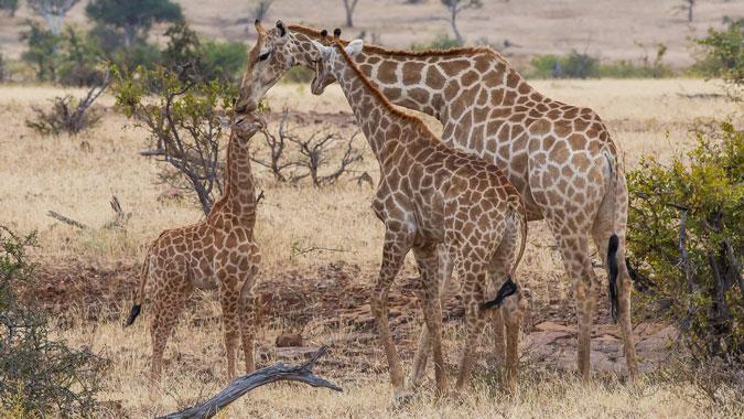 giraffe kisses, Mashatu Game Reserve, Botswana