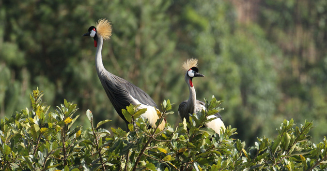grey-crowned cranes, birds, Lake Bunyonyi, Uganda