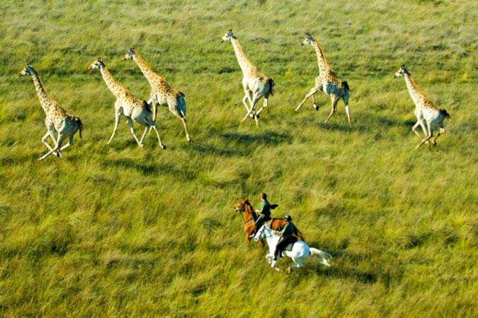 Horse riding safari with giraffe, Botswana
