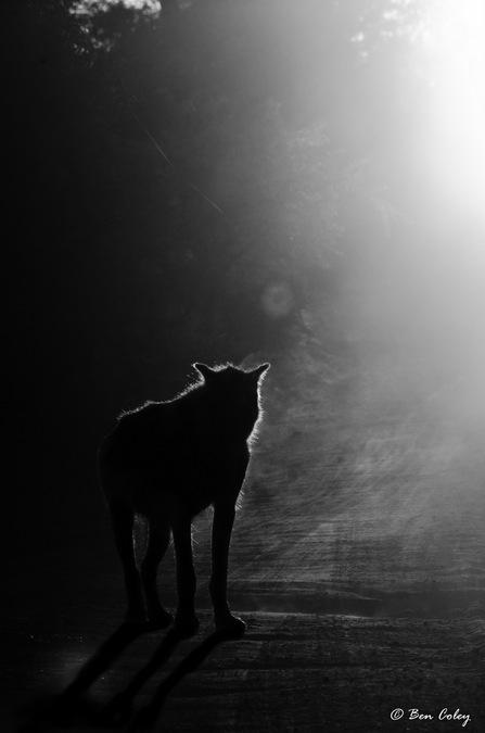hyena, black and white photography, wildlife, bush safari